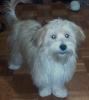 Morkie, 8 months, gold