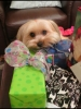 Morkie, 11/2 year, Blonde