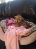 Morkie, 16 months, Cream