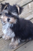 Morkie, 14 weeks, Black,tan and white