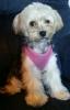 Morkie, 1 Year Old, Black, Tan, White
