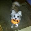 Morkie, 2, white - apricot