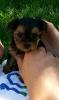 Morkie, 7 weeks, Black and Tan