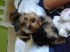 Morkie, 2 months, Black and Tan