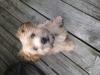 Morkie, 16 weeks, Gold