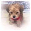 Morkie, 4 months, Tan