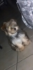 Morkie, 9 months, Grey, Brown, tan, White, Sliver