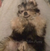 Morkie, 5, Silver/tan/a few strands of black/red on his back