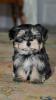 Morkie, 11 weeks, brown and black