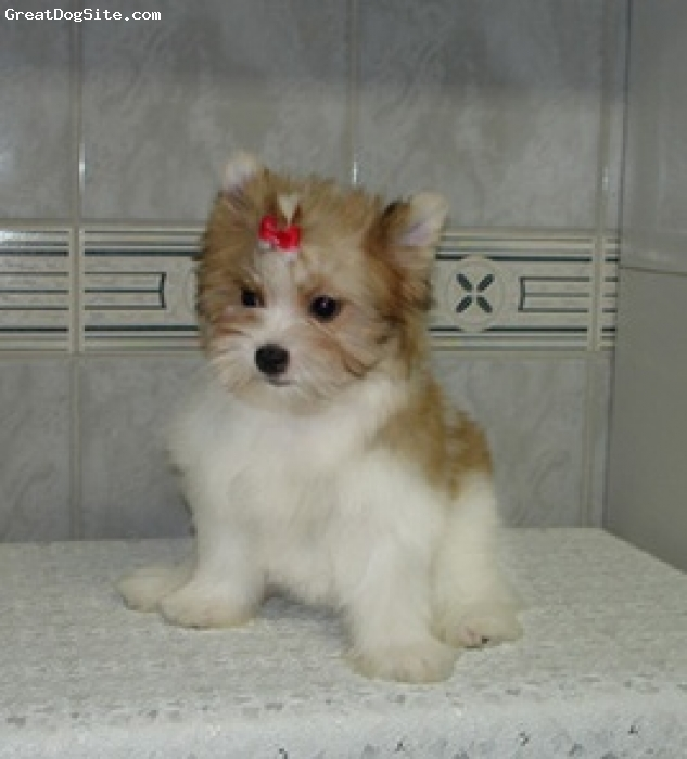 Morkie, unsure, brown and white, cute puppy