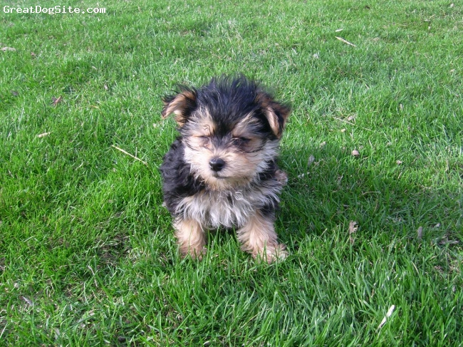 Morkie, unsure, brown and white, little puppy