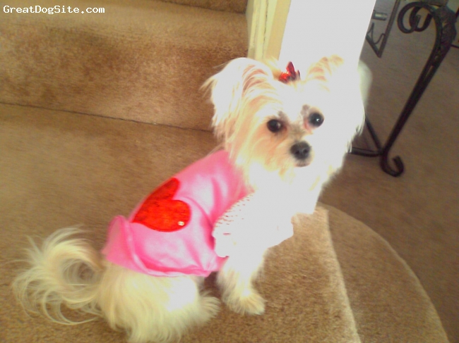 Morkie, 15 months, Cream, Juicy is such a  sweetie. She looooooves attention and thinks every movement is a cue to play. She is protective and love to lick.