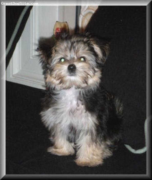 Morkie, 4 months, Black/cream, Lovely little puppy, as sweet as can be. So very soft like the Maltese.