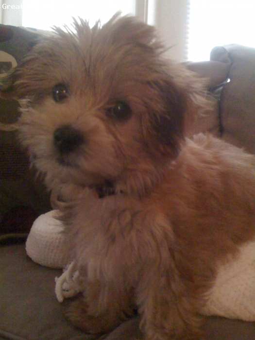 Morkie, 3 months, Red, Playful and loving