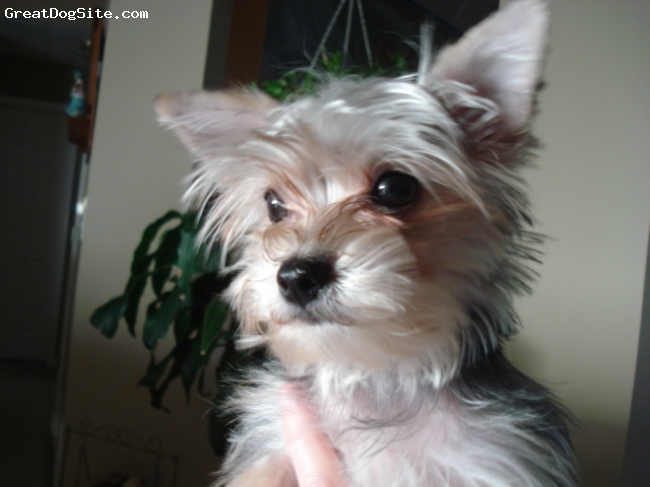 photo of a 10 months old, silver, black, Morkie - BellaBrooklyn is ...