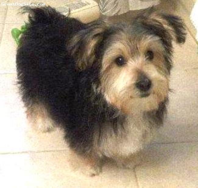 Morkie dog black and white