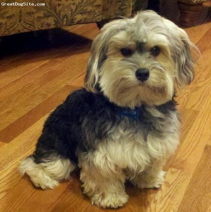 A photo of a 2 old, tri-color, Morkie - Adopted at 8 ...