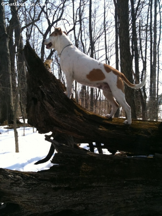 Mountain Cur, 10yr, white & yellow, She's a good tree dog too!