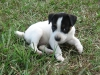 Mountain Feist, 8 weeks, White and Black