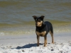 Mountain Feist, 4, black and tan