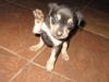 Mountain Feist, 7 weeks, Black and Tan