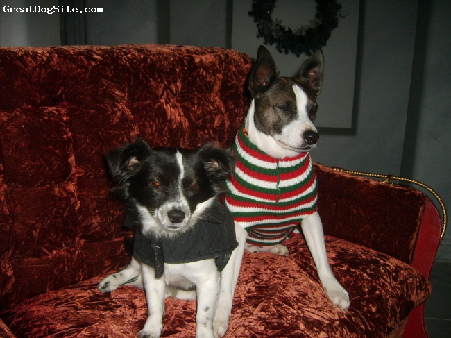 Mountain Feist, 4YEARS, WHITE AND BLACK, MY 2 DOGS ARE THE BEST  THIS WAS AT XMAS .
