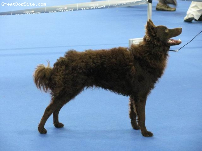 Mudi, 18 monat, brown, Credo is an athlete. Sports - agility, flyball, dogdancing. More on