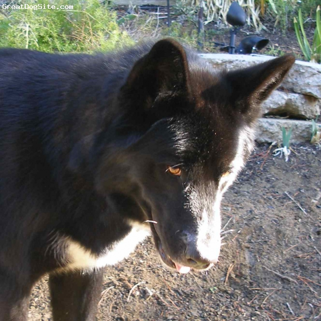 Native American Indian Dog, 2.5 Tala, black phase, A Canth x Remah daugher