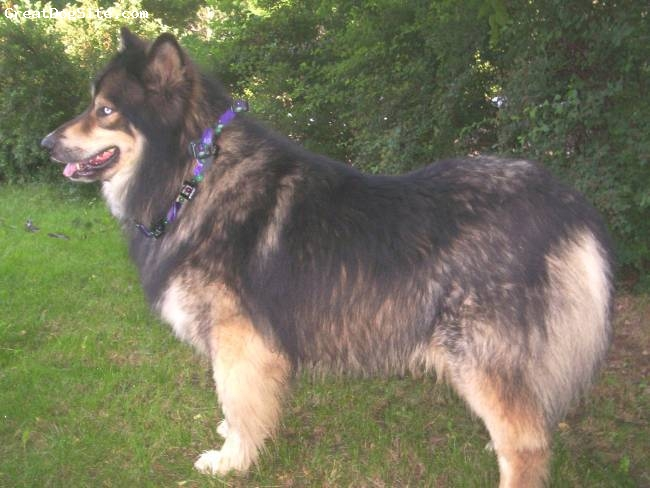 "Native American Indian Dog, 5yrs., black & rust, Smokey is a NAID male, with a wonderful, friendly, loving, outgoing nature.  He is over 160lbs  and a big ole ""Teddy Bear""  with not one mean bone in his body.  A Real Joy to be around."