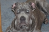 Neapolitan Mastiff, 5 months, greey with some brindle