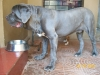 Neapolitan Mastiff, 2 years, Blue