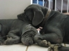 Neapolitan Mastiff, 4 months and 2 years, blue