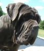 Neapolitan Mastiff, 2yr, Blue Grey