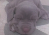 Neapolitan Mastiff, 46 days, gray