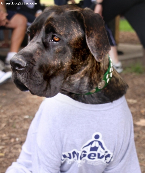 Nebolish Mastiff, 12 months, Reverse Brindle, At Charity Event
