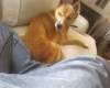 New Guinea Singing Dog, 5, Tan & White