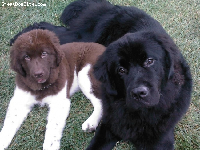 Newfoundland, 1 year and 14 weeks, Black, Brown and White, My two Newfie Sons!!!