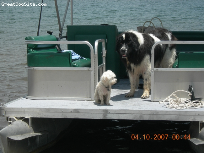 Newfoundland, 4 years, Black & White, This is my buddy Jack. he was a 'doggy in the window'. I had to have him. he is a huge part of our family 7 his bets buddy is our Maltese 'Bella' shown in the photo with him.