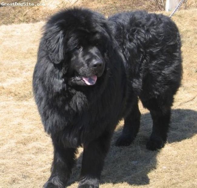 Newfoundland, 3 years, black, majestically standing