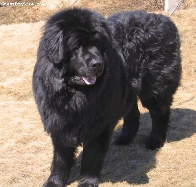 Newfoundland, 3 years old, black, just hanging out in the front yard!