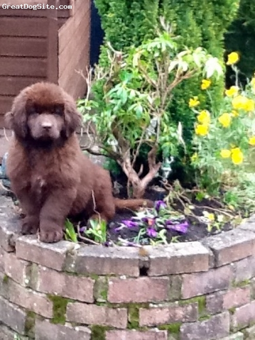 Newfoundland, 3 months, Brown, My little helper in the garden who likes to dig up the flowers !