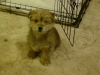 Norfolk Terrier, 10 weeks, beige / brown