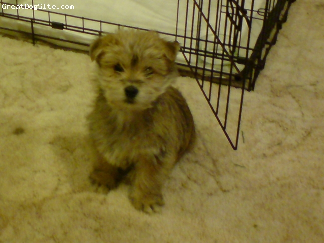 Norfolk Terrier, 10 weeks, beige / brown, Sitting still and looking at the camera... take the picture quick!