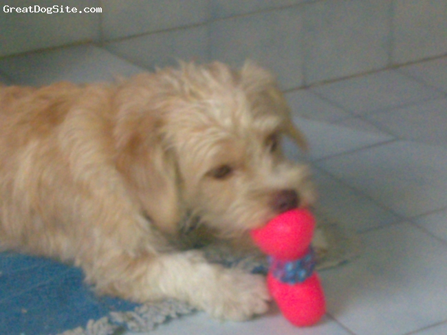 Norfolk Terrier, 2, light brown, wonderfull !!!!!!!!!!