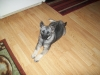 Norwegian Elkhound, 16 weeks, Black, White & Silver