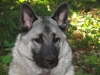 Norwegian Elkhound, 6 months, Gray