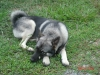 Norwegian Elkhound, 10 months old, black & tan