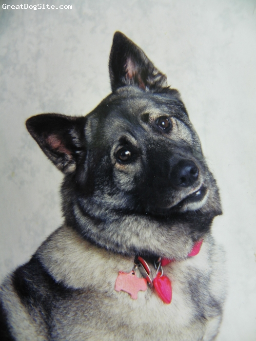 Norwegian Elkhound, 2, grey, silver, pure sweetheart