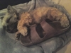 Norwich Terrier, 6 months, Grizzle and Tan