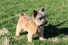 Norwich Terrier, 10 months, Grizzle and Tan